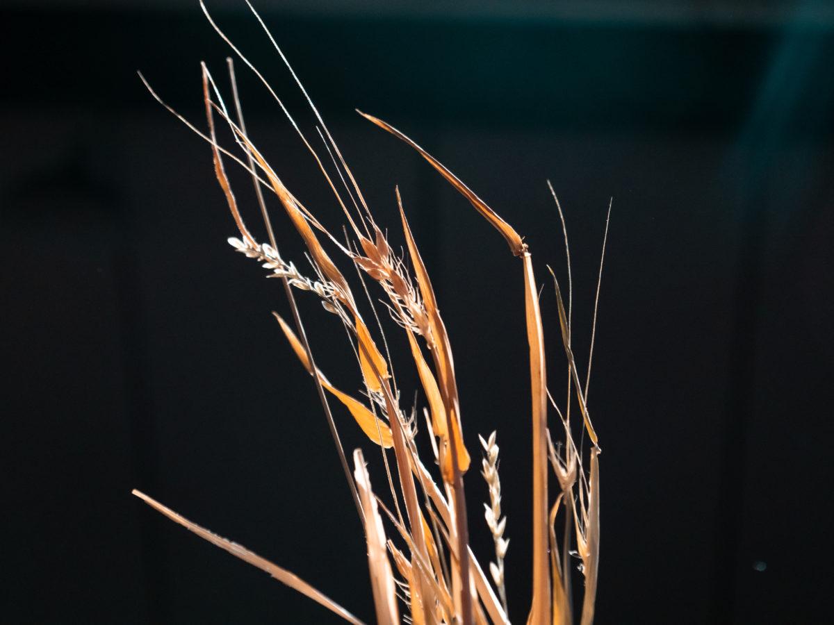 Epi de blé sur fond noir